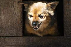 Сердитая собака шавки, оскалы его зубы в будочке стоковая фотография