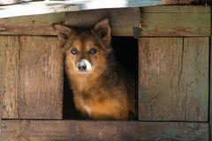 Сердитая собака шавки, оскалы его зубы в будочке стоковые изображения rf