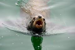 сердитое море льва лаять Стоковое фото RF