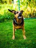 Сердитые нападения собаки Собака выглядит агрессивной и опасной стоковые фотографии rf
