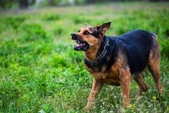 Сердитые нападения собаки Собака выглядит агрессивной и опасной стоковое изображение rf