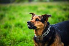 Сердитые нападения собаки Собака выглядит агрессивной и опасной стоковые изображения rf