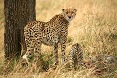 сердитые новички гепарда Стоковые Фотографии RF