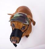 сердитый выступленный намордник dachshund крышки Стоковое Изображение