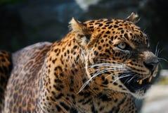 сердитый леопард Стоковые Изображения