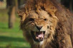 сердитый львев стоковые изображения rf