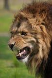 сердитый львев стоковое фото