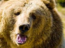 сердитый медведь стоковые изображения