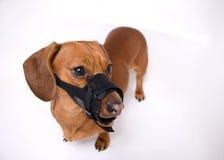 сердитый намордник dachshund Стоковое Изображение