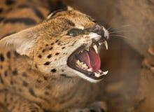Сердитый одичалый кот стоковая фотография rf