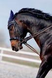 сердитый портрет лошади стоковая фотография rf