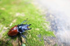 Сердитый Рогач-жук Стоковое Изображение RF