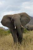 сердитый слон стоковые фотографии rf