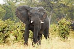 сердитый слон Стоковые Фото