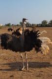 Сердитый страус Стоковые Изображения RF