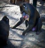 сердитый сфинкс mandrillus mandrill Стоковая Фотография