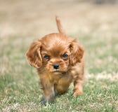 сердитый щенок стоковая фотография rf
