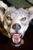 сердитый canine Стоковые Изображения