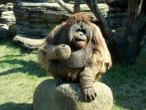 сердитый orangutan Стоковая Фотография