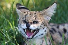 сердитый serval кота одичалый Стоковые Фотографии RF