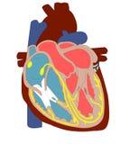 сердце анатомирования иллюстрация вектора
