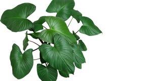 Сердце сформировало темные ые-зелен листья завода Homalomena r Homalomena Стоковое Изображение