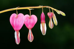 сердце цветка кровотечения Стоковые Изображения RF