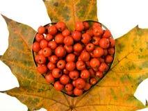сердце elderberry изолировало Валентайн Стоковые Фотографии RF