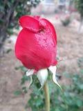Сердц-к-heart†бутону красной розы ‹романтичному Стоковая Фотография