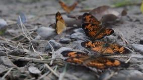 Серебристая бабочка checkerspot streatching оно крылья видеоматериал