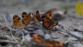 Серебристые бабочки checkerspot в сушить лужицу грязи видеоматериал