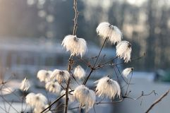 Серебристые головы семени clematis в солнце утра Стоковая Фотография