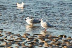Серебряная птица чайки на береге реки Стоковое Фото