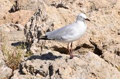 Серебряная чайка моря Стоковое Фото