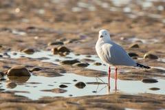 Серебряная чайка на реке Tamar Стоковое Изображение