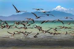 Серебряные пеликаны в Венесуэле стоковые изображения