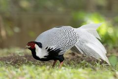 Серебряные птицы фазана в Таиланде Стоковая Фотография RF