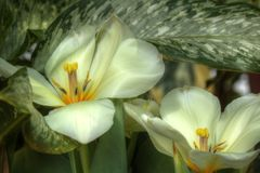 Серебряные раскрытые тюльпаны Стоковые Фотографии RF