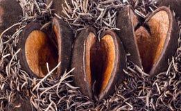 Серебряные семена Banksia раскрывают Стоковое Изображение