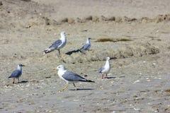 Серебряные чайки на румынском пляже Стоковое Изображение
