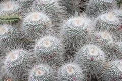 Серебряный кактус Стоковая Фотография