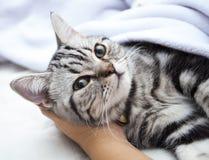 Серебряный кот Стоковые Фото