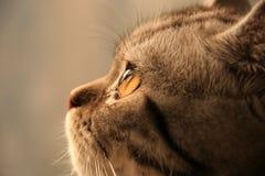 Серебряный кот Стоковые Изображения