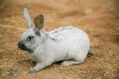 Серебряный кролик на усадьбе стоковая фотография