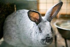 Серебряный кролик на усадьбе стоковые изображения