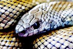 Серебряный крупный план змейки Стоковое фото RF
