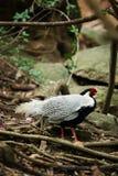 Серебряный фазан идя в лес стоковые изображения