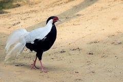 Серебряный фазан Стоковая Фотография RF