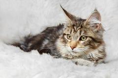 Серебряный черный котенок енота Мейна представляя на мехе предпосылки Стоковое Изображение