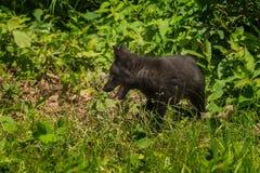 Серебряный Fox (лисица лисицы) вышел профиль Стоковое Фото
